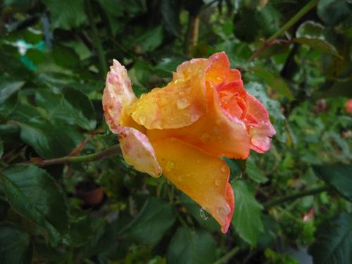 Rosa na Meloteca