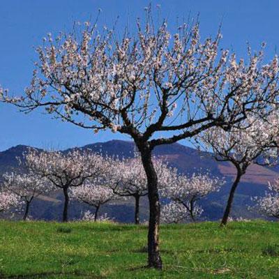 Amendoeiras em flor no Algarve