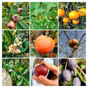 Frutos comestíveis da Meloteca
